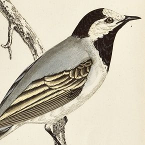 WAGTAIL WHITE Engraving Morris History British Birds London Antique