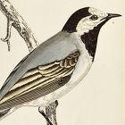 WAGTAIL WHITE Engraving Morris History British Birds London Antique