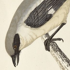 SHRIKE GREAT Engraving Morris History British Birds London Antique