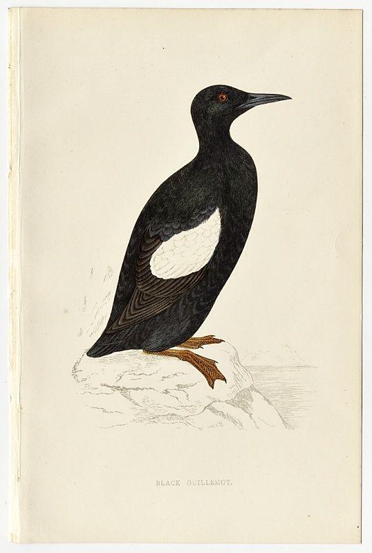 GUILLEMOT BLACK Engraving Morris History British Birds London Antique