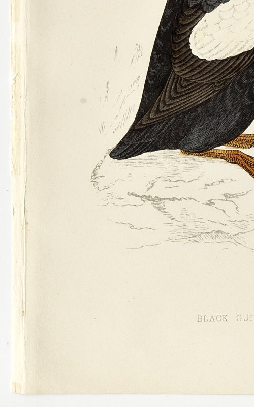 GUILLEMOT BLACK Engraving Morris History British Birds London Antique