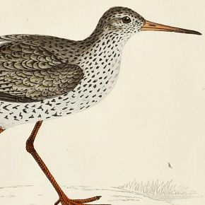 REDSHANK Engraving Morris History British Birds London Antique Print