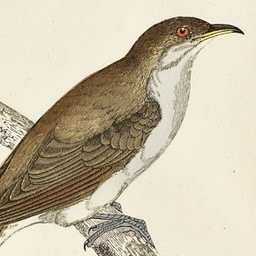 CUCKOO YELLOW BILLED Engraving Morris History British Birds London