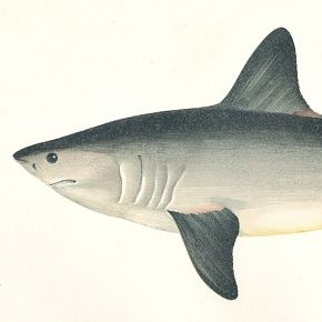 PORBEAGLE SHARK Engraving History Fish British Islands Jonathan Couch