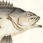 BASS STONE Engraving History Fish British Islands Jonathan Couch
