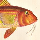 SURMULLET Engraving History Fish British Islands Jonathan Couch