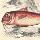 MULLET RED Engraving History Fish British Islands Jonathan Couch
