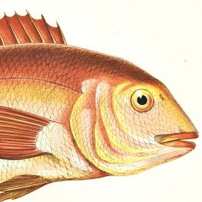 GILTHEAD Engraving History Fish British Islands Jonathan Couch Antique