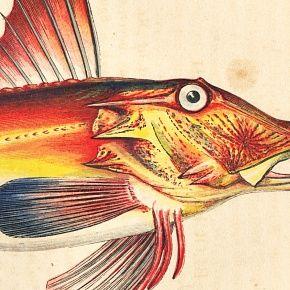 GURNARD BLOCHS Print History Fish British Islands Jonathan Couch