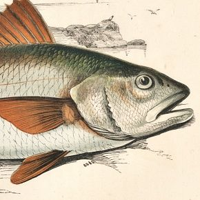 SCIAENA Engraving History Fish British Islands Jonathan Couch