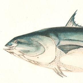 BONITO PLAIN Engraving History Fish British Islands Jonathan Couch