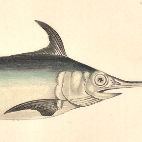 SWORDFISH Engraving History Fish British Islands Jonathan Couch