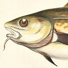 COD Engraving History Fish British Islands Jonathan Couch Antique