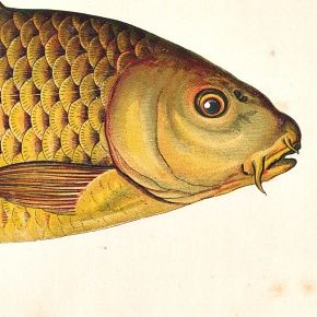 CARP Engraving History Fish British Islands Jonathan Couch Antique