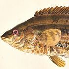 WRASS BAILLONS Engraving History Fish British Islands Jonathan Couch