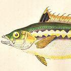 WRASS RAINBOW Engraving History Fish British Islands Jonathan Couch