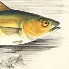 POLLACK GREEN Engraving History Fish British Islands Jonathan Couch