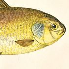 CARP PRUSSIAN Engraving History Fish British Islands Jonathan Couch