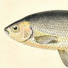 AZURINE ROACH BLUE Engraving History Fish British Islands Couch 1865