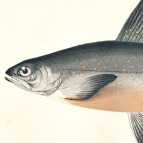 CHAR GRAYS Engraving History Fish British Islands Jonathan Couch 1865
