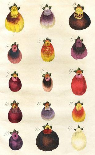 CALCEOLARIAS Engraving Floricultural Cabinet Joseph Harrison London