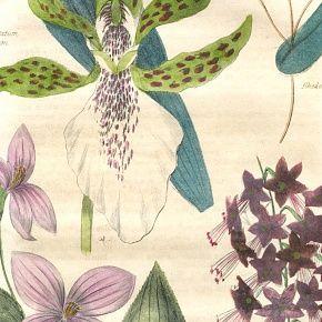 ZYGOPETALUM CRINITUM Engraving Floricultural Cabinet Harrison London