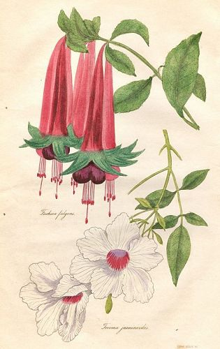 FUCHSIA FULGENS Engraving Floricultural Cabinet Harrison London