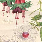 FUCHSIA FULGENS Engraving Floricultural Cabinet Harrison London