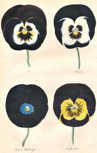 PANSIES Engraving Floricultural Cabinet Harrison London Antique