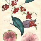 PETUNIAS Engraving Floricultural Cabinet Harrison London Antique
