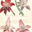 GLADIOLAS Engraving Floricultural Cabinet Harrison London Antique