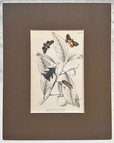 LIMACODES ECNOMIDEA CATERPILLAR Engraving Naturalist Library Jardine