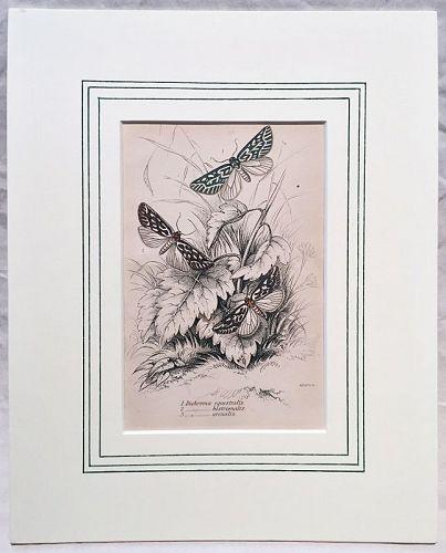 DICHROMA EQUESTRALIS Engraving Naturalist Library Jardine Antique