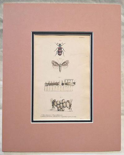 APIARIUS CLERUS Engraving Naturalist Library Jardine AntIque Print