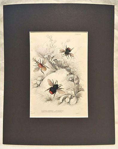 BEE ORANGE TAILED Engraving Naturalist Library Jardine Antique Print