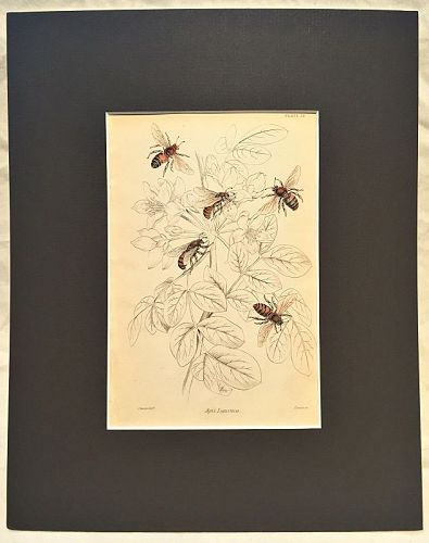 APIS LIGUSTICA Engraving Naturalist Library Jardine Antique Print