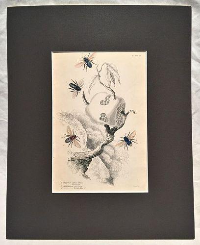 TRIGONA AMALTHEA Engraving Naturalist Library Jardine Antique Print