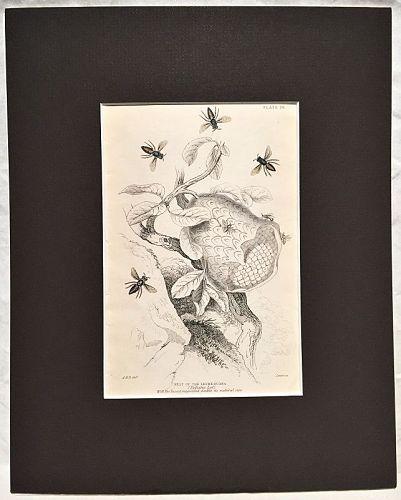 LECHEGUANA NEST Engraving Naturalist Library Jardine Antique Print