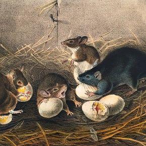 RAT BLACK John Audubon Quadruped Royal Octavo Antique New York
