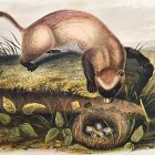 FERRET BLACK FOOTED John Audubon Quadruped Royal Octavo Antique