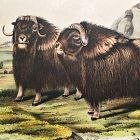 OX MUSK John Audubon Quadruped Royal Octavo Antique New York