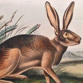 HARE CALIFORNIA John Audubon Quadruped Royal Octavo Antique New York