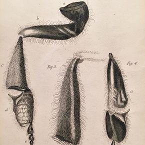 BEE ANATOMY Engraving Naturalist Library Jardine Antique Print