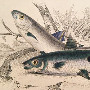 CHALCEUS FISH Engraving Naturalist Library Jardine Antique Print