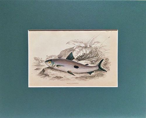 ANODUS FISH Engraving Naturalist Library Jardine Antique Print