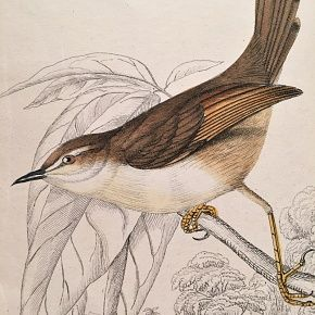 LONGTAIL WHITE EYEBROWED Engraving Naturalist Library Jardine Antique