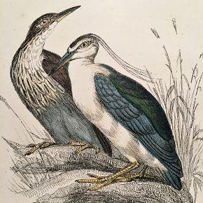 HERON NIGHT Engraving Naturalist Library Jardine Antique Print
