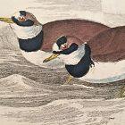 DOTTEREL RINGED Engraving Naturalist Library Jardine Antique Print