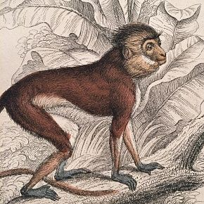 SIMPAI MONKEY Engraving Naturalist Library Jardine Antique Print