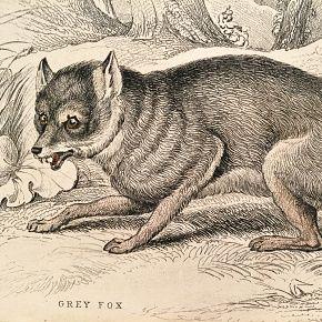 FOX GREY Engraving Naturalist Library Jardine Antique Print